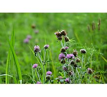 Red Clover Dewy Morning Photographic Print