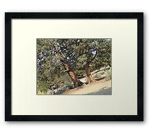 Western Juniper Framed Print