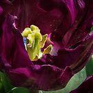 Centre of a Dark Purple Tulip at Tesselaar Victoria Australia 20160923 7542  by Fred Mitchell