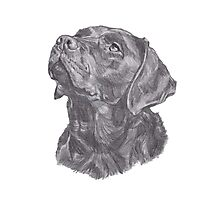 Classic Labrador Retriever Dog Profile Drawing Photographic Print