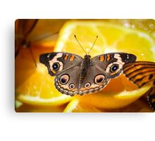 Common Buckeye Junonia Coenia Canvas Print