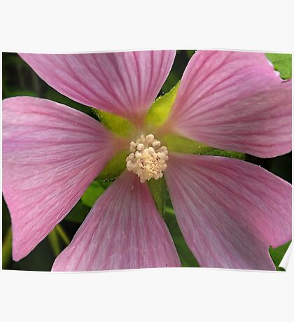 """""""Mallow"""" Wildflower in the Shade Poster"""