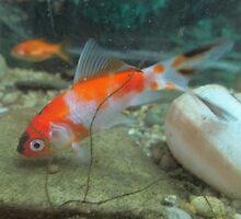 Goldfish 3 by Furiarossa