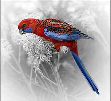 Crimson Rosella on Grevillea by carol brandt