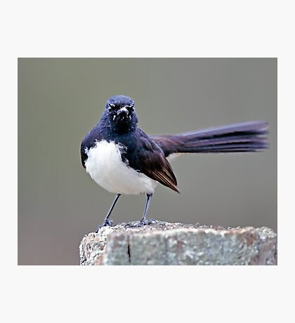 Willie Wagtail Photographic Print