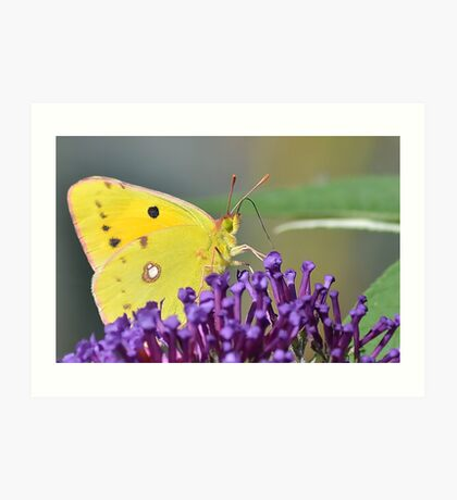 Clouded Yellow Butterfly ,  Colias croceus Art Print