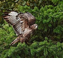 Buzzard by Brian Avery