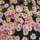 Pink Asters by Kenneth Hoffman