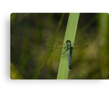 Pond Jewel - Blue and Green Dragonfly Canvas Print