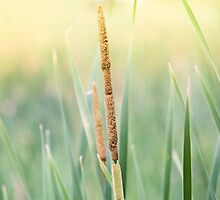 Cattail by John Velocci