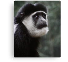 Colobus Monkey Canvas Print