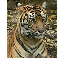 Sumatran Tiger Mother Watching Cubs Photographic Print