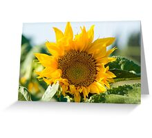Israel, Sunflower in a field  Greeting Card