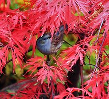 Dunnock on a Japanese maple by missmoneypenny