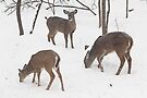 Whitetail Deer In Snowy Woods by MotherNature