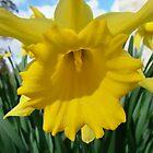 Daffodil  by Richard Winskill