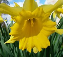 Daffodil  by Richard Winskill