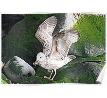 Snack for a Young Gull.... Lyme Dorset UK Poster