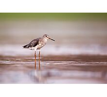 Common redshank (Tringa totanus) hunting for food in shallow water.  Photographic Print