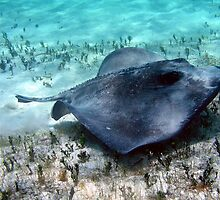 Southern Stingray by BravuraMedia