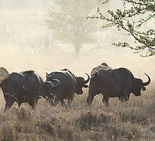 Raising Dust. African Buffalo. Tanzania. by Carole-Anne