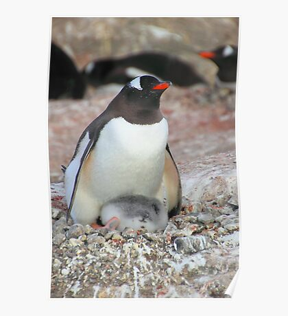 Gentoo Penguin With Chick Poster