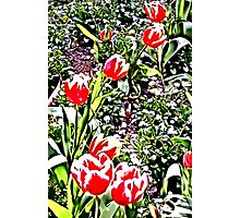 Tulips - Floral Collection Photographic Print