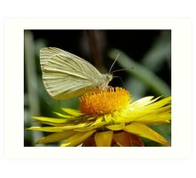 Cabbage White on Yellow Daisy Art Print