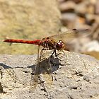 Ruddy Darter by John Thurgood