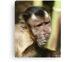Capuchin Junior's Snack Time Canvas Print