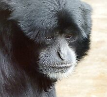 A Thoughtful Siamang by Margaret Saheed