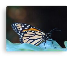 Monarch Butterfly Resting On Leaf Canvas Print