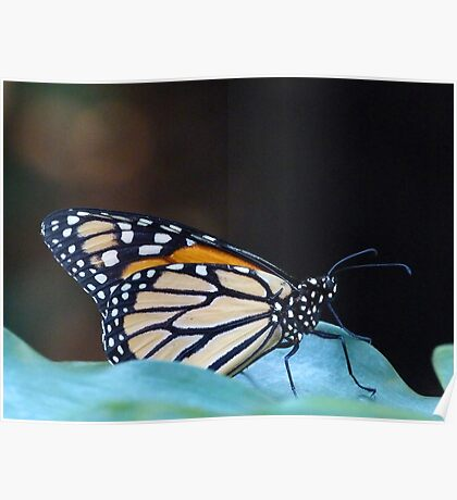 Monarch Butterfly Resting On Leaf Poster