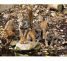Sumatran Tiger Mother With Her Four cubs Photographic Print