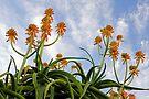 Aloe blooms 42 by Larry Costales