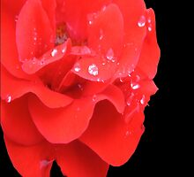 RED ROSE WITH RAIN DROPLETS by Colleen2012