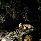 Lion at Night by Mark Fendrick