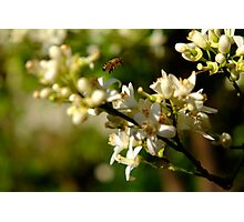 Bee buzzing among the orange flowers Photographic Print