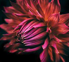 Radiant Dahlia by Jessica Jenney