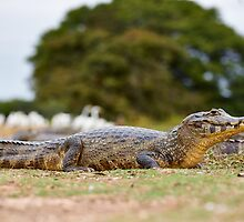 yacare caiman by travel4pictures
