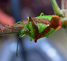 Leaf/Shield Bug : Hemiptera by AnnDixon