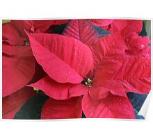 poinsettia flower Poster
