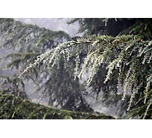 pine leaves under rain Photographic Print