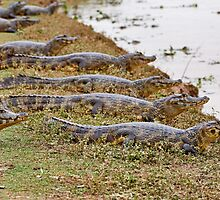group of yacare caimans by travel4pictures