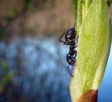 busy ant by globeboater
