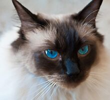 0807 Old Blue Eyes by DavidsArt