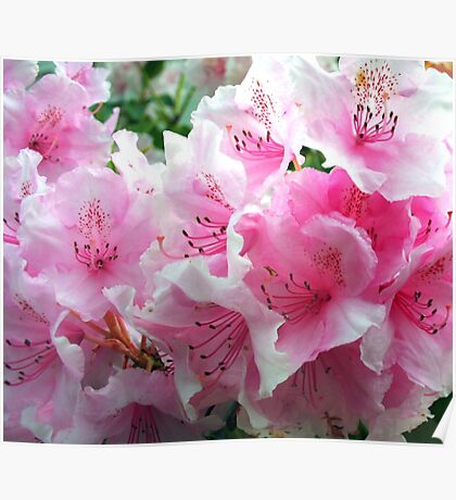 Pink Floral Blossoms Poster