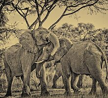 fighting male African bush elephant BW by travel4pictures
