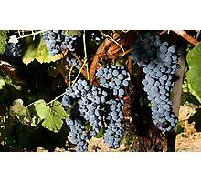 Grapes Vineyard  Photographic Print