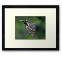 MALE ANNA'S HUMMINGBIRD  IN FLIGHT Framed Print